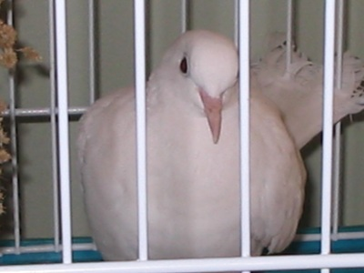 """Lovey"" - White Ringneck Dove"